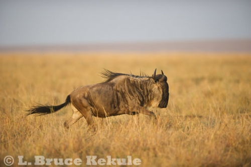 Wildebeest on the run in Maasai Mara