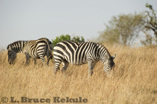 Zebras on the savanna in Maasai Mara