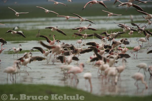 Flamingos at Lake Nakuru, Kenya