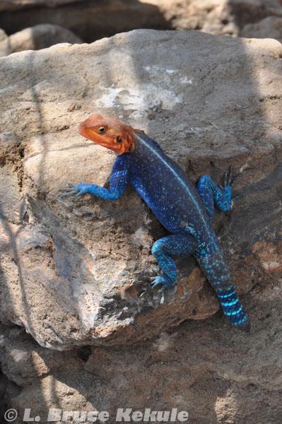 Gamma lizard in Lake Nakuru