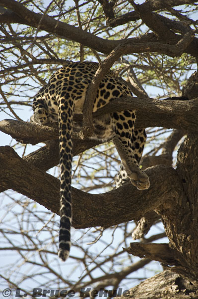 Male leopard tail end in Samburu