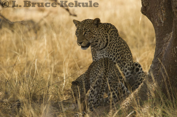 Leopard mother and cub in Samburu National Reserve