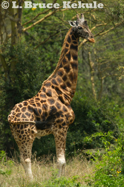 Rothschild giraffe at Lake Nakuru