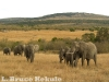 afircan-elephants-on-savannah