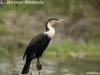 African cormorant in Lake Nakuru