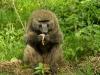 Baboon eating a guineafowl chick in Nakuru