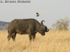 Cape buffalo and oxpecker in Masai Mara