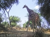 Giraffe in Samburu