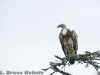 Griffon vulture in Sweetwaters