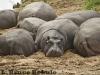 Hippos in Maasai Mara Game Reserve