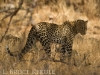 Leopard mother in Samburu