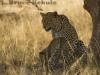 Leopard mother and cub in Samburu National Reserve
