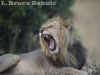 African male lion yawning in Maasai Mara