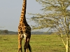 Masai giraffe in Siana Springs Conservancy