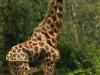 Rothschild giraffe at Lake Nakuru