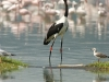 Saddle-billed stork and flamingos in Lake Nakuru