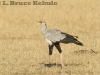 Secretary Bird on the savannah in Maasai Mara