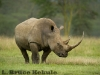 White rhino at Lake Nakuru