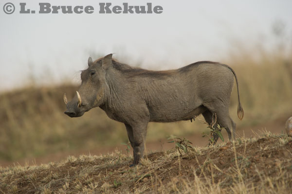 Wart hog in the Maasai Mara