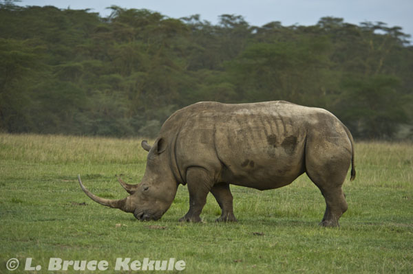 White rhino in Lake Nakuru