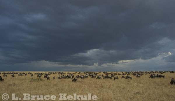 Wildebeest on the savannah in Maasai Mara