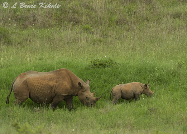 Black rhino mother and calf 2 in Nairobi NP