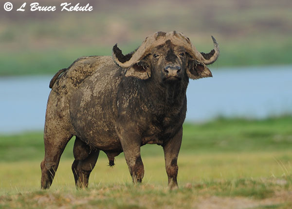 Cape buffalo bull in Amboseli NP