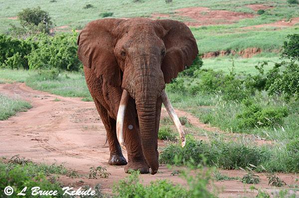 Bull elephant in Tsavo NP, Kenya Africa