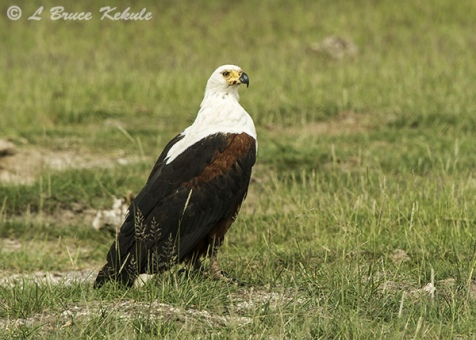 African fish eagle in Amboseli NP