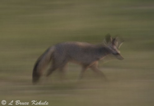 Bat-eared fox in Amboseli NP