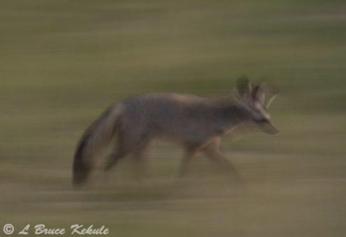 Bat-eared fox in Amboseli NP