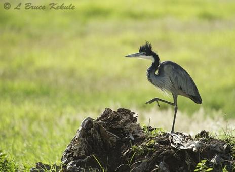 Black-headed heron in Amboseli NP