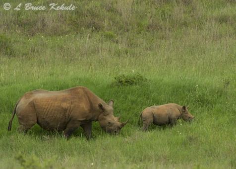 Black rhino mother and calf 2 in Nairobi NP
