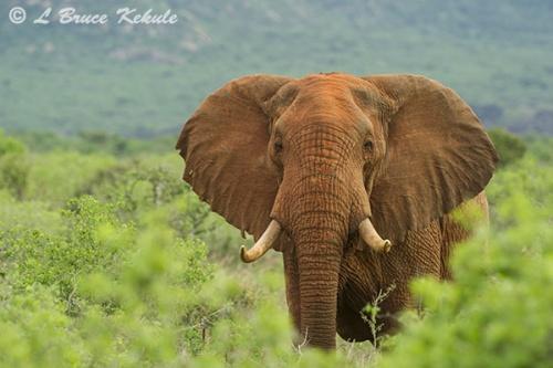 bull-elephant-in-tsavo