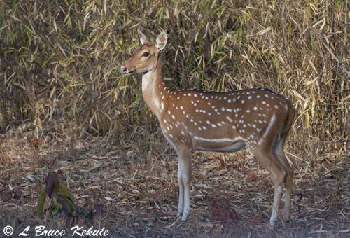 chital-female-in-tadoba-w