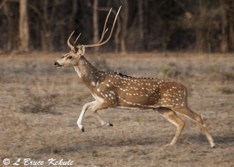 Chital stag (spotted deer) in Tadoba