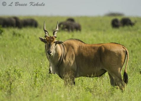 Eland bull in Nairobi NP