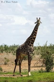 Giraffe male in Tsavo (West) NP