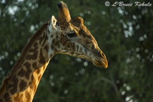 Giraffe male in Shimba Hills WS