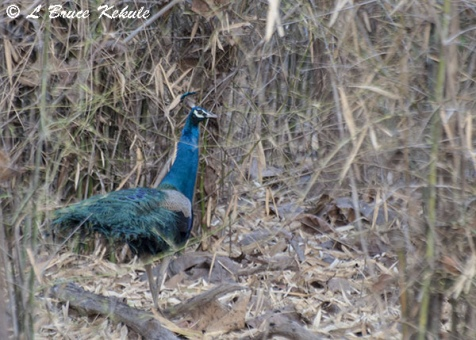 indian-blue-peafowl-w