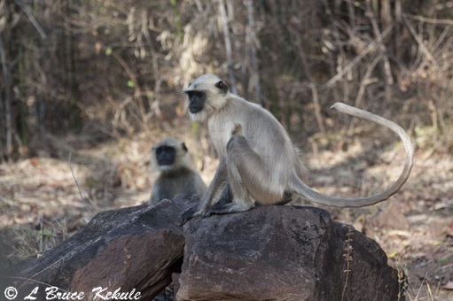 indian-langur-in-tadoba-w