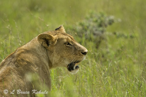lioness-in-narobi-1-copy