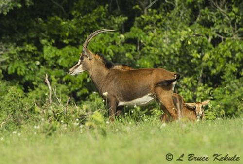 Sable antelope in Shimba Hills WS