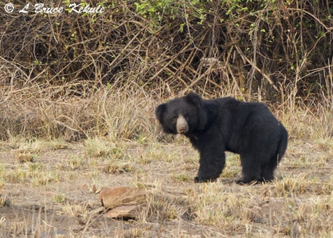 Sloth bear in Tadoba