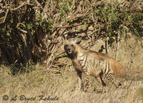 Striped hyena in Tsavo (East) NP