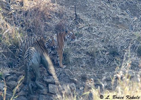 Tigers pair in Tadoba