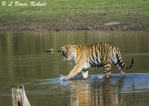 Tiger cub in the lake at Tadoba