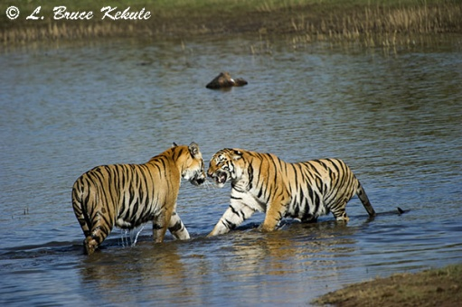 Tigers pair in the lake at Tadoba