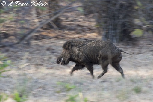 Wild boar at Tadoba
