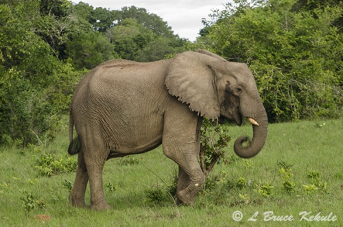 Young bull elephant in musth in Shimba Hills